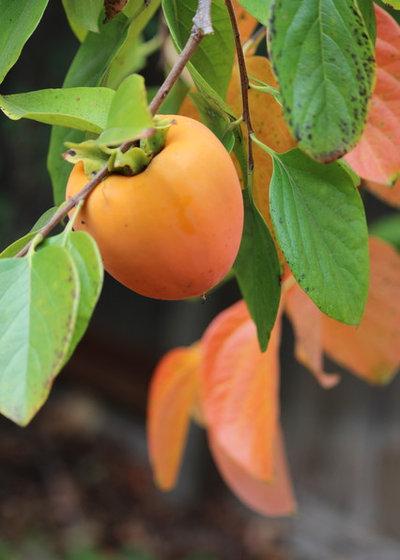 Asian persimmon production excellent porn