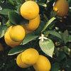 マイヤーレモンを育てるコツ