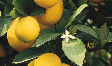There's a Lot to Love About a Meyer Lemon Tree