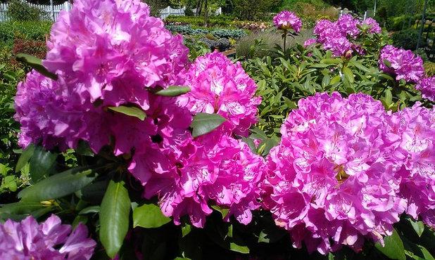rhododendron pflege infos zu bl tezeit und schnitt. Black Bedroom Furniture Sets. Home Design Ideas