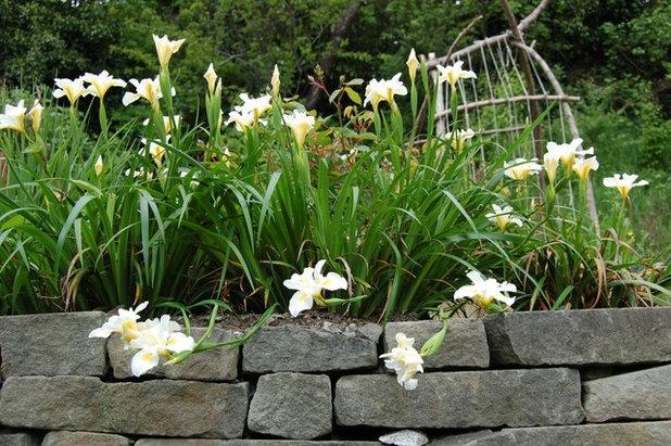 Landscape Iris 'Chimes'
