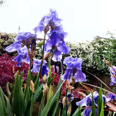 Traditional Landscape Iris germanica