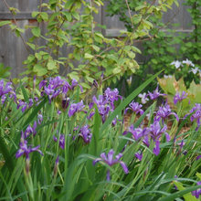Plant Irises in Fall for Standout Spring-Into-Summer Blooms