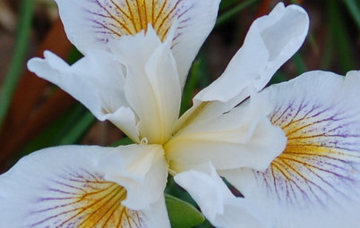 Great Design Plant: Pacific Coast Iris