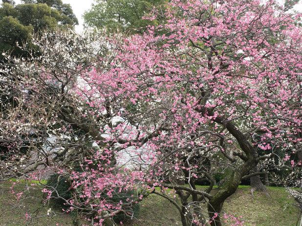 Landscape Japanese apricot