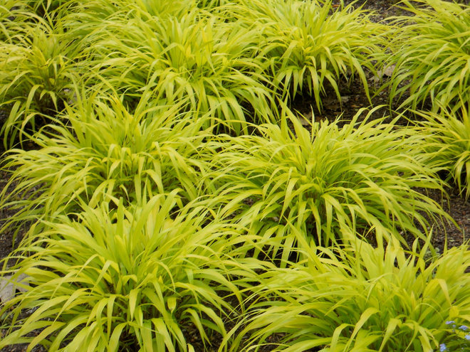 20 ways to create a chartreuse splash in the landscape for Yellow ornamental grass