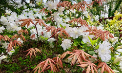 Japanese maples and ferns