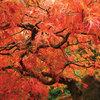 Plante du mois : Les érables japonais