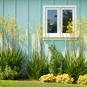 Kangaroo paws and succulents against modern house