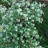 Great Design Plant: Kintzley