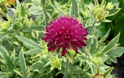 Great Design Plant: Thunder and Lightning for Midsummer Garden Color