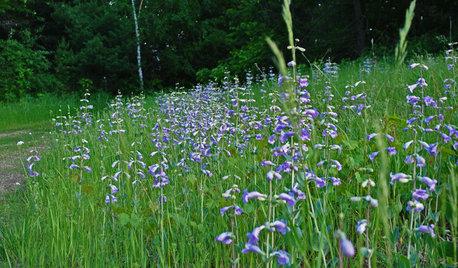 Great Design Plant: Penstemon Grandiflorus