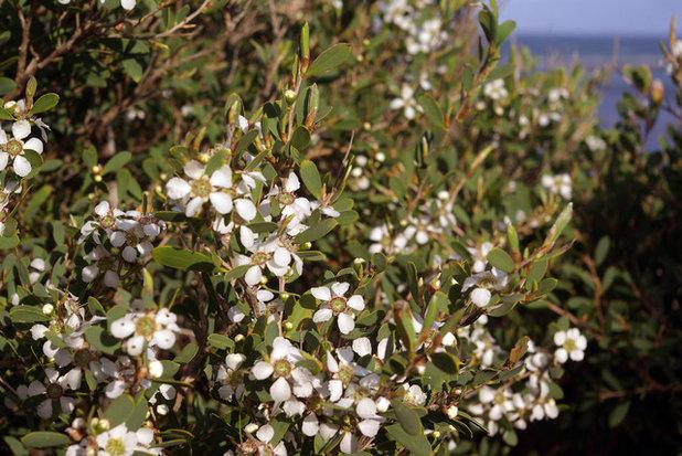 Landscape Leptospermum laevigatum