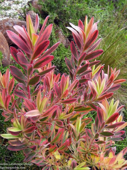 Leucadendron (Conebush) A Colorful Drought-Tolerant Shrub