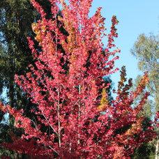 Traditional Landscape Liquidambar styraciflua in fall color