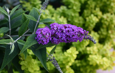 How to Prune and Look After Buddleja