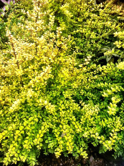 Traditional Landscape Lonicera Baggesen's Gold