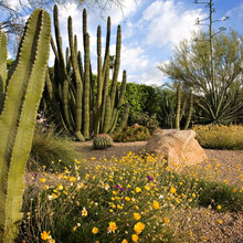 Tall Cactuses Bring Drama to Southwestern Gardens