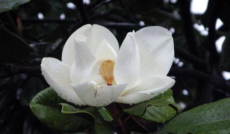 Great Design Plant: Southern Magnolia, Iconic U.S. Native
