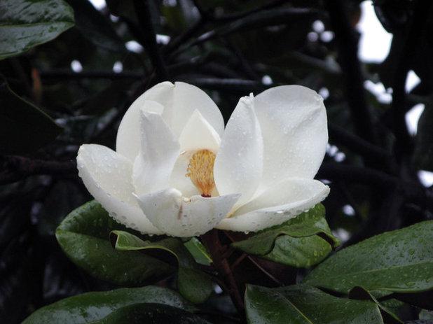 Landscape Magnolia grandiflora (Southern Magnolia)