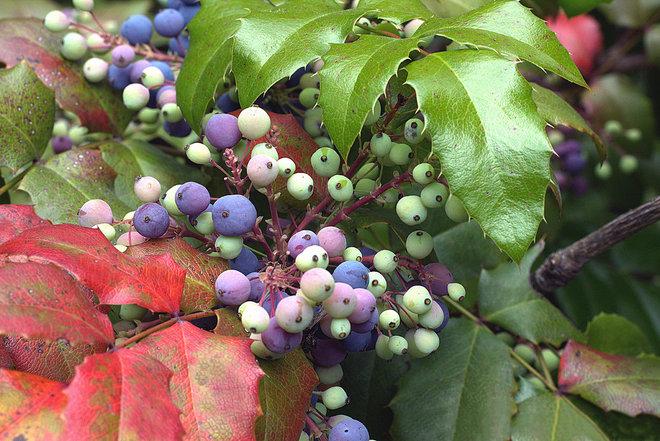 Сад Mahonia Aquifolium