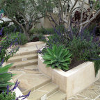 Combination of different lavender varieties gardening sections around olive tree for Olive garden manhattan beach ca