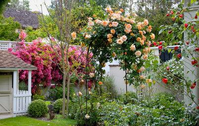 Как правильно: посадить плетистую и штамбовую розы весной