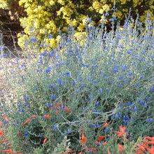 Ca native garden