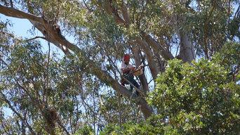 Merlin Arborist Group - Fine Pruning