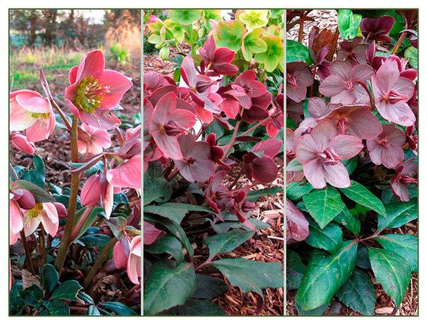 La plante du mois l 39 hell bore gaie l 39 hiver for Plante 6 mois