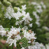 Great Design Plant: Virginia Mountain Mint
