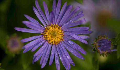 Great Design Plant: Aster