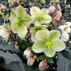 Great Design Plant: Gold Collection Hellebores Perform Like Stars