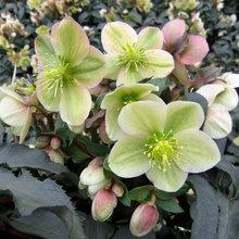 Perk Up Your Winter Garden With Beautiful Hellebores