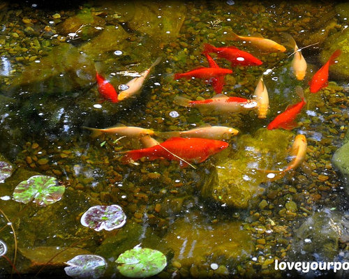 Moss rock koi pond for Koi fish pond rocks