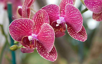 Orchids 101: How to Keep Your Moth Orchids Alive and Blooming
