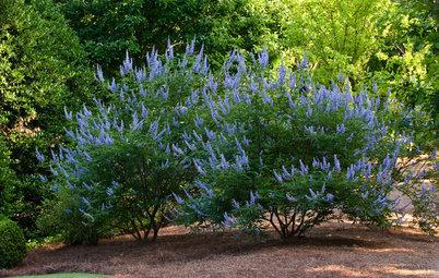 Vitex Agnus-Castus Fills Gardens With Fragrant Blooms and Foliage