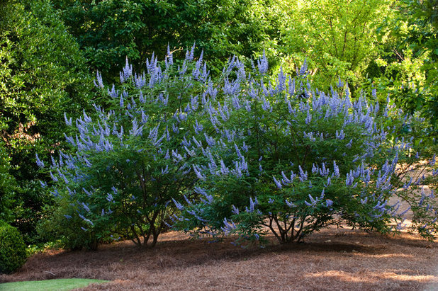 vitex agnus castus fills gardens with fragrant blooms and. Black Bedroom Furniture Sets. Home Design Ideas