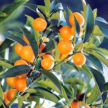Dwarf Citrus Trees Offer Miniature Size With Maximum Flavor