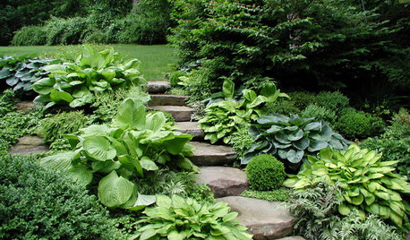 Shade-Loving Hostas Shine in the Garden