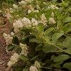 Great Design Plant: Ceanothus Americanus