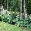 Great Design Plant: Actaea Racemosa