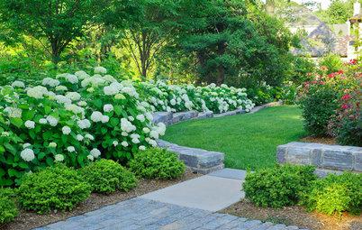 Hydrangea Arborescens Illuminates Garden Borders and Paths