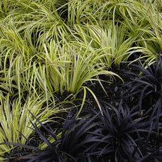 Landscape Ophiopogon planiscapus 'Nigrescens'