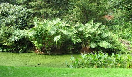Great Design Plant: Osmunda Regalis