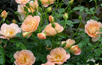 6 Wonderfully Easy Roses for Any Gardener