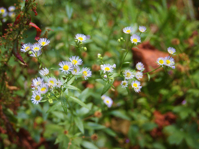 Landscape Pacific Aster