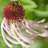 Great Design Plant: Echinacea Pallida