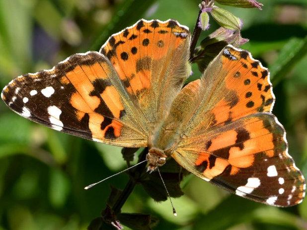 Comment attirer les papillons dans votre jardin et les - Comment attirer les papillons dans son jardin ...