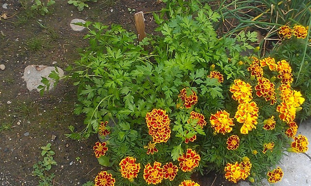 Enhance Edibles And Brighten Gardens With Sunny Marigolds